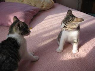 WEBSTA @ ayumioyabun - .懐かしシリーズ✨おチビのぐらちゃん、一丁前のイカ耳😂今日はうちの4ニャンの誕生日(推定だけどね💦)ぐりぐら、9歳になりました🎂..#ぐりぐらお誕生日おめでとう#うちの子になってくれてありがとう#まだまだ長生きしてね#猫#CAT#ぐりとぐら#保護猫#姉妹猫#ぐりとぐら