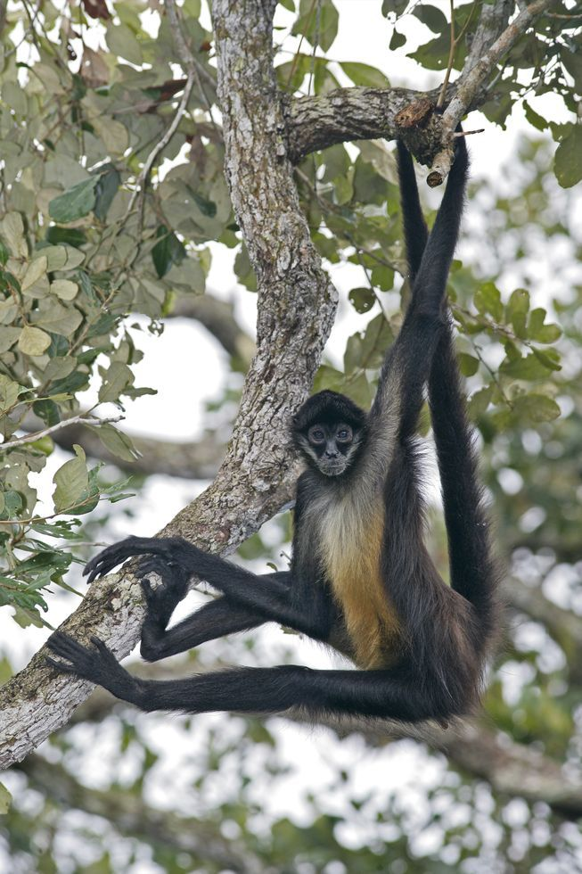 A Geoffroy's spider monkey clings to a tree using its prehensile tail. The only monkeys that boast prehensile tails are found in the New World, which is on the opposite end of the Earth from Old World monkeys in S.E. Asia.