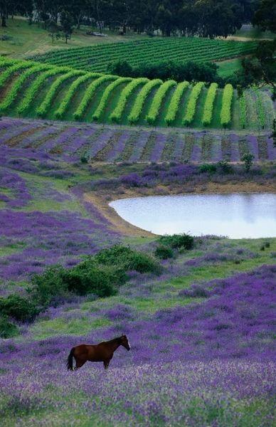 Horse paddock near vineyards, Barossa Valley, Mintaro, South Australia