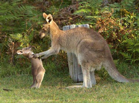 Debido al calentamiento global, la especie más emblemática de Australia, el canguro, podría desaparecer en pocos unos años.