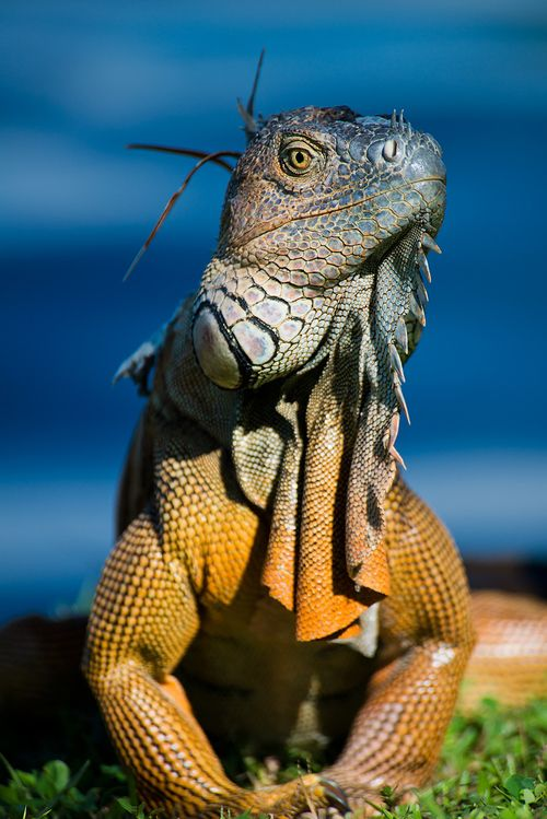 It's likely you'll see an iguana like this while having breakfast or lounging by the pool. +1-844-9-UNPLUG to plan your next trip to Central America or visit centralamericavacation.com to see customizable travel packages.