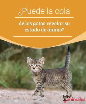¿Puede la cola de los gatos revelar su estado de ánimo?  ¿Qué nos dice la cola de los gatos? ¿Nos expresa el humor de los felinos? Aprende sobre el lenguaje corporal de los mininos en este artículo. #lenguaje #gato #estado #curiosidades