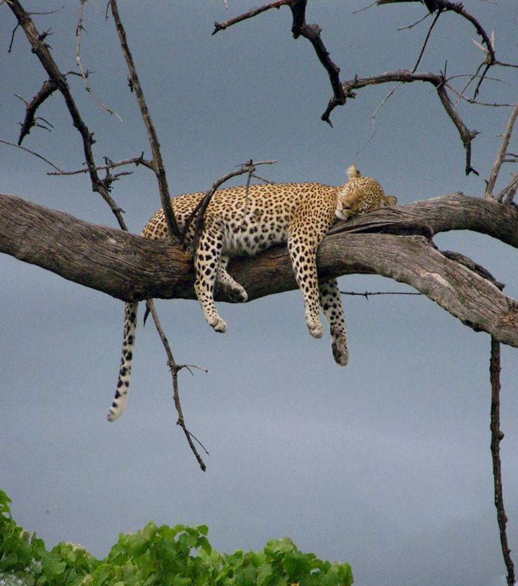 Africa | Leopard resting in a tree.  Chobe National Park, Botswana  | ©Simon Ric Hansen