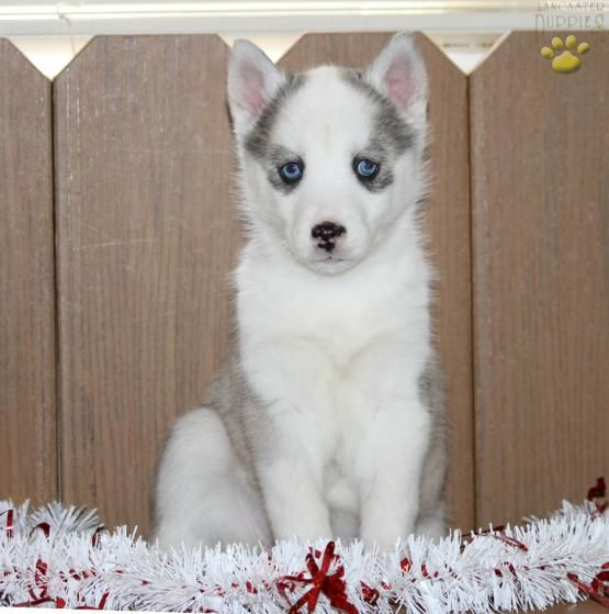 Fluffy - Siberian Husky Puppy for Sale in Richland, PA | Lancaster Puppies