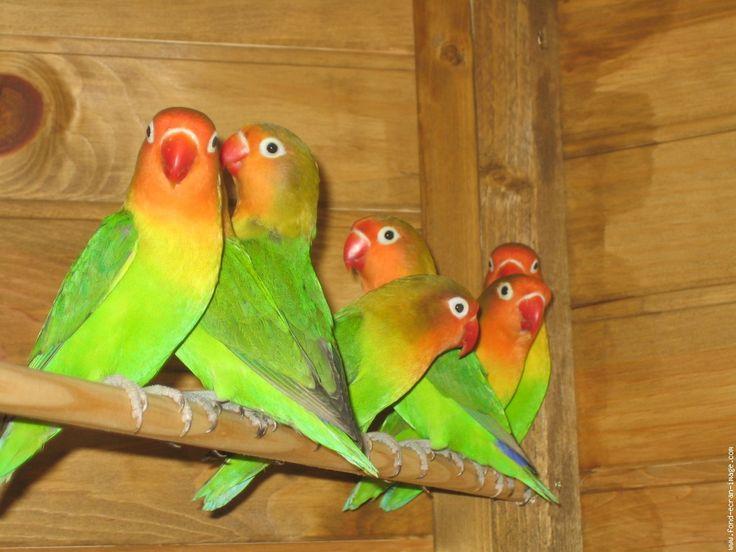 Oiseau inseparable inseparables