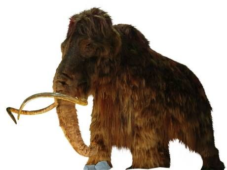 Woolly mammoths became extinct because of climate change – not hunting - Science - News - The Independent