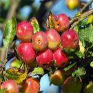 Fruit Trees - Fruit Tree | Apricot Trees | Pomegranate Trees | Olive Trees | Buy Fruit Trees - Willis Orchard Company