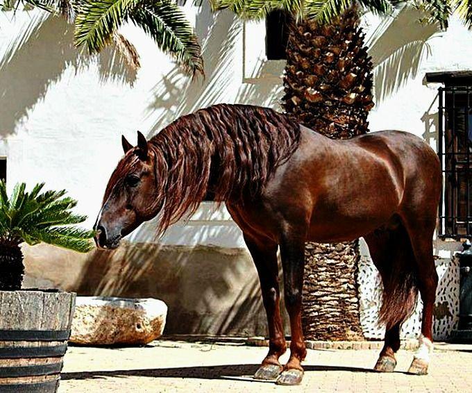 Pura Raza Española stallion Ebro. photo: Edyta Trojańska-Koch.
