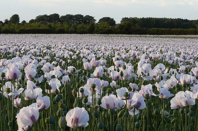 Field of white poppies