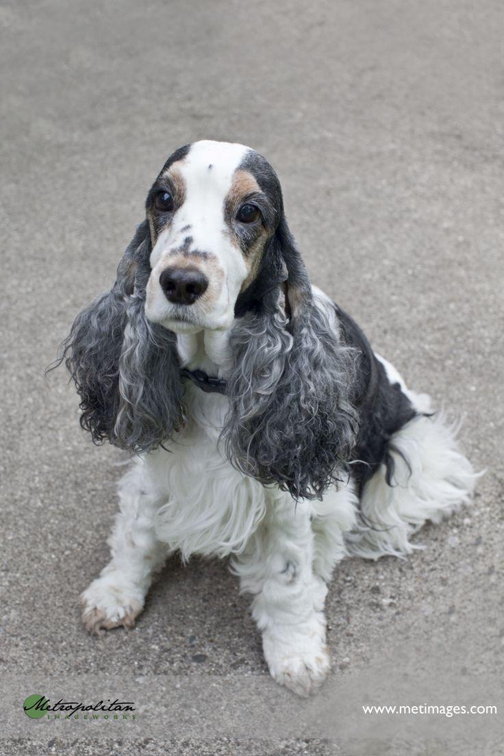03-Metimages-Dog-Portraits-English-Cocker-Spaniels