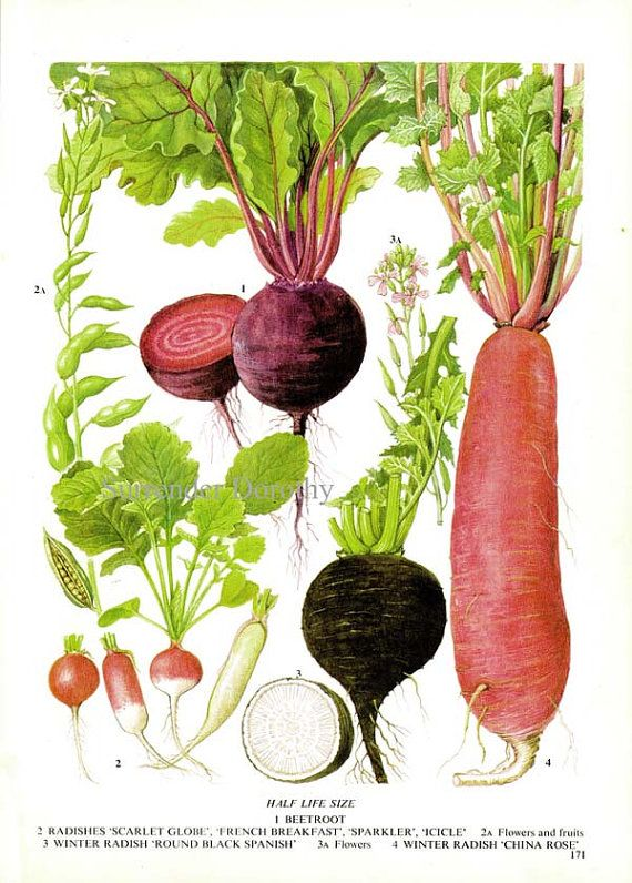 Beet Radish Chart Root Vegetable Food Botanical Lithograph Illustration For Your Vintage Kitchen 171