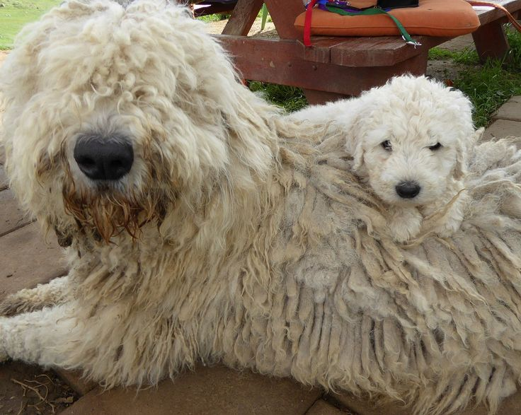 California Komondor dog Shanti & her puppy, Ama                                                                                                                                                                                 Mehr