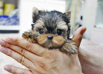 Yorkshire Terrier: Yorkshire Terriers Awwww, Yorkshire Terrierawwww, Diy Hair, Recipes Hair, Hair Food, Terriers Recipes, 3333333333333 Yorkshire, Yorkshire Terriers So, Animal