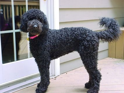 Selling two motorcycles you don't use so you can continue to pay $17,000 a year to care for your labradoodle: Labradoodle Dogs, Black Labradoodles, Doggie, Poodle, Pet, Doodles Black Dogs, Favourite Labradoodles, Labradoodles Goldendoodles