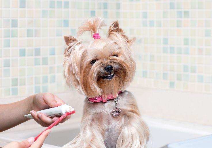 Como cuidar dos dentes do animal de estimação
