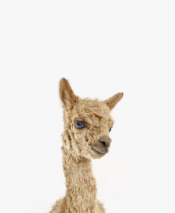 baby alpaca.  yes, it's real.