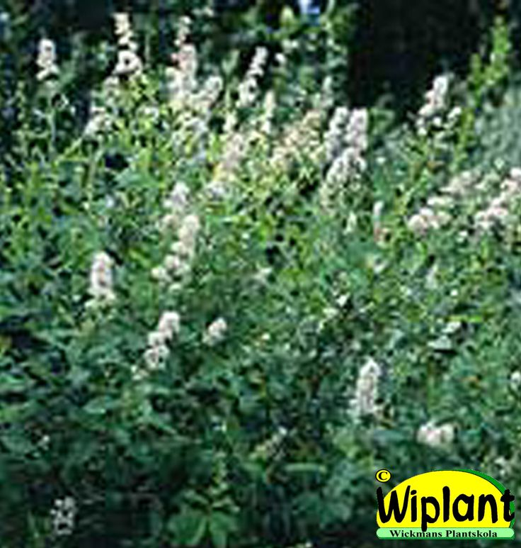 Spiraea alba 'Allikko', Vitspirea. FinE-sort. Ljust vitrosa blomvippor. Finskt urval. Höjd:1 m.