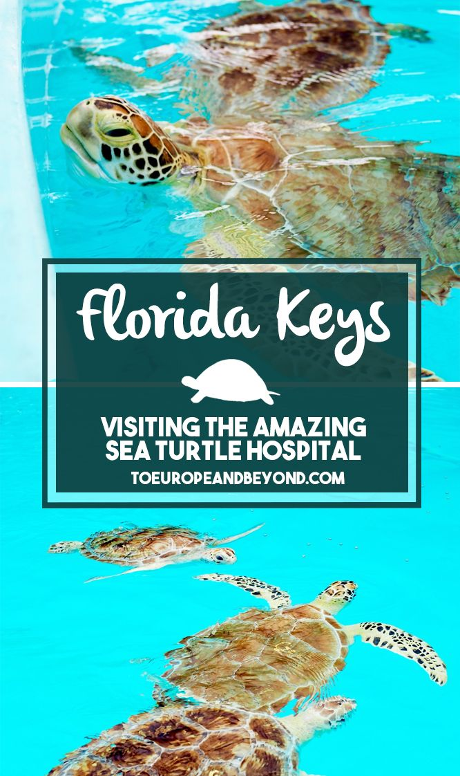 The not-for-profit Marathon Sea Turtle Hospital rescued and rehabilitated over 1000 sea turtles since their opening in 1989 ♥ http://toeuropeandbeyond.com/sea-turtle-hospital-in-the-florida-keys/ #Florida #turtles #travel