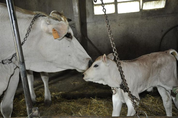 bovini di razza Chianina -MARCHE-   #Wonderfooditaly #FrancescoBruno www.blogtematico.it