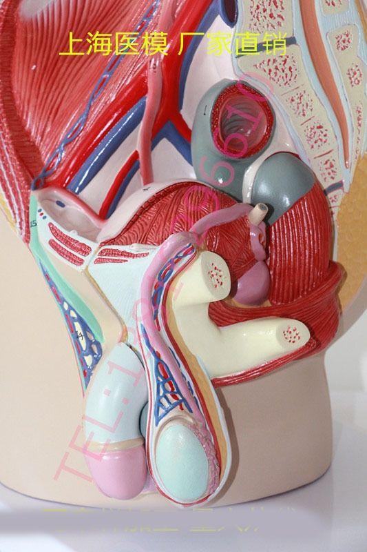 119.00$  Buy now - http://alif1u.worldwells.pw/go.php?t=32455364608 - Male external genitalia anatomical model Pelvic sagittal plane model Penis model Bladder section model 119.00$