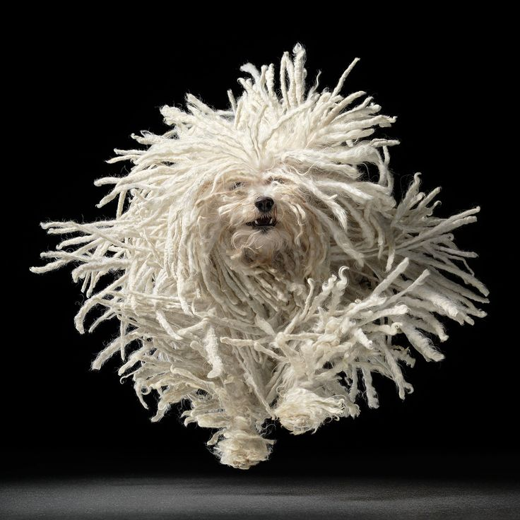 The Happy Mop (Komondor Hungarian Sheepdog ) [x-post /r/MostBeautiful] http://ift.tt/2kITD6C