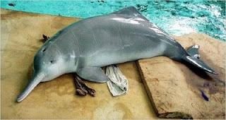 Baiji Dolphin. Functionally extinct 2006 – Joe Public