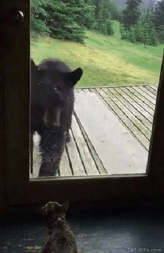 CAT GIF • Curious black bear against brave Kitty. Bear is scared, Cat rules