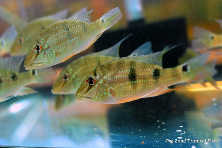 ... about Cichlids on Pinterest Malawi cichlids, Electric blue and Fish