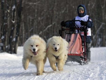 雪が積もったロシア極東で行われた犬ぞりレース。寒さに負けず、優勝目指して頑張った。(タス=共同) ▼20Jan2015共同通信 頑張れ! http://www.47news.jp/news/photonews/2015/01/post_20150120141305.php #Sled_dog #Ездовая_собака #Perro_de_trineo #雪橇犬 #썰매개 #Schlittenhund #Chien_d_attelage