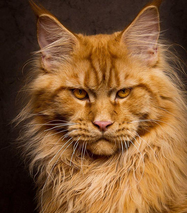 Alô alô catlovers! Já ouviu falar dos Maine Coons? Essa é a maior raça domesticada de gatos do mundo, é tipo o mais próximo de um lince que você pode ter na sua casa, sem se preocupar se ele vai ar…