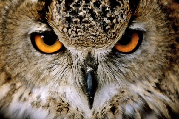 Look at this incredibly beautiful Eagle Owl.  Isn't she beautiful?