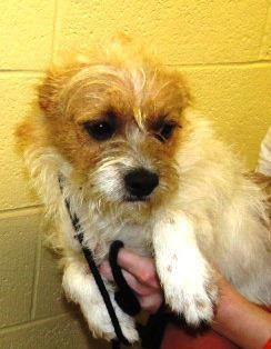 Name: Freddie   Age: 2 years  Weight: 15  Breed: Jack Russell Mix  Status: Adoptable    #adopt #rescue #terrier #JRT