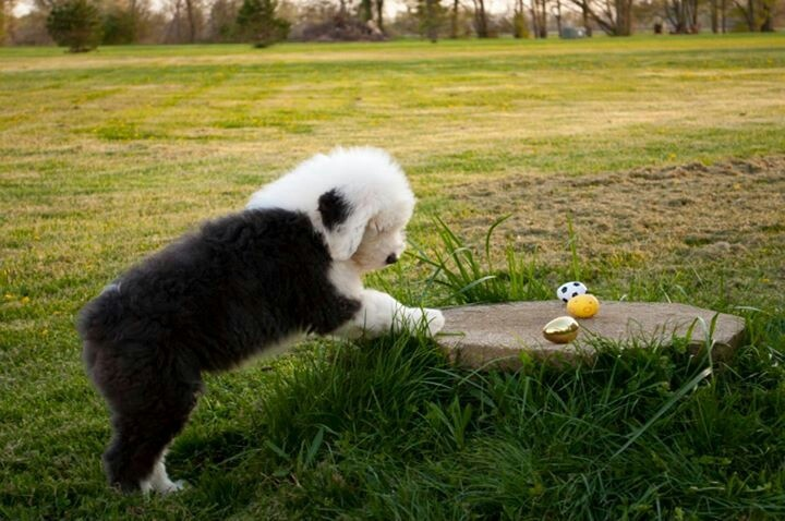 Gus, a young Old English Sheepdog