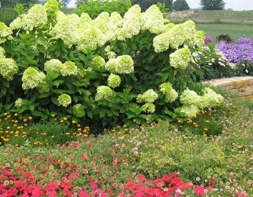 Гортензия метельчатая лаймлайт в дизайне садового участка
