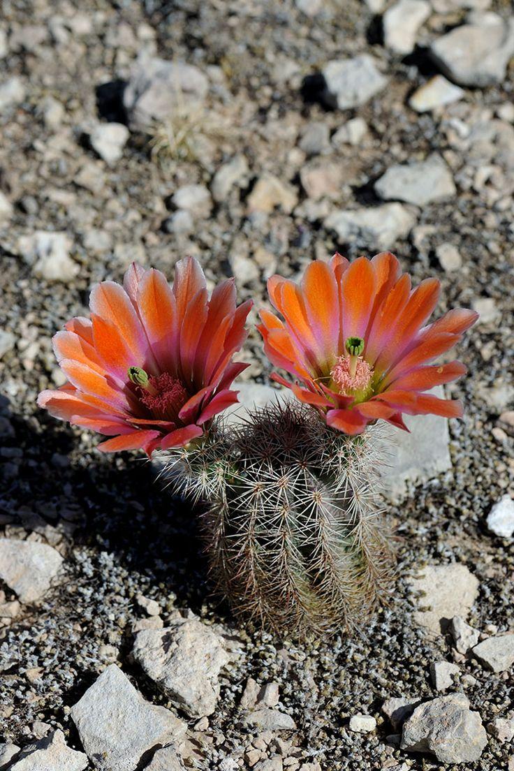Echinocereus xllyodii, USA, Texas, Pecos Co.  More Pictures at: http://www.echinocereus.de