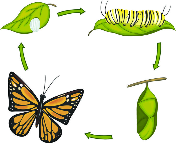 life cycle of a butterfly - Google Search