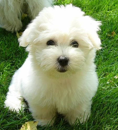 My sister has one of these dogs called cotton. So cute