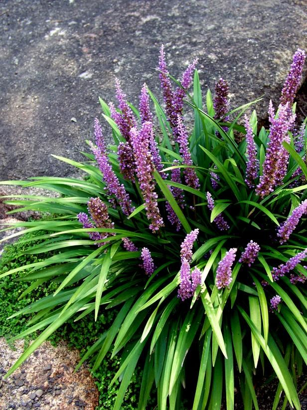 Night Blooming Flowers With Images Plants Liriope Muscari