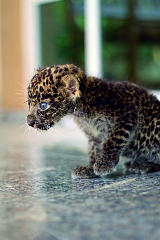 baby jaguar! too cute | Cute Animals | Pinterest