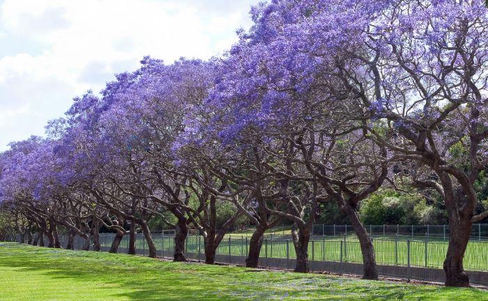 jacaranda tree - Google Search