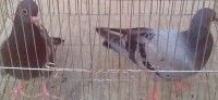 One pair baby pigeon for sale