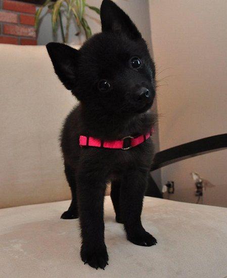 Awwww! Schipperke puppy :)