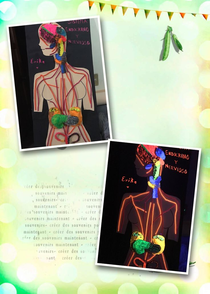 Maqueta Sistema endocrino y sistema nervioso