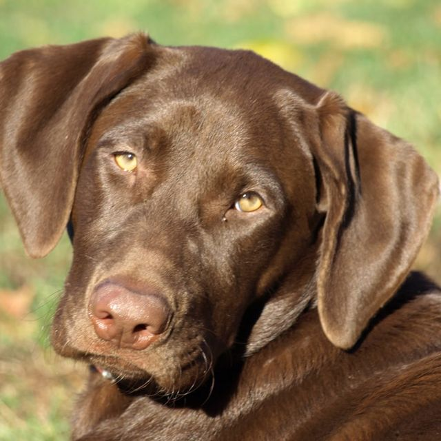 Beautiful Chocolate Brown Adorable Dog - aee632d68c922e090a4a129c29fb9458--labrador-chocolate-pet-lovers  Pictures_926110  .jpg
