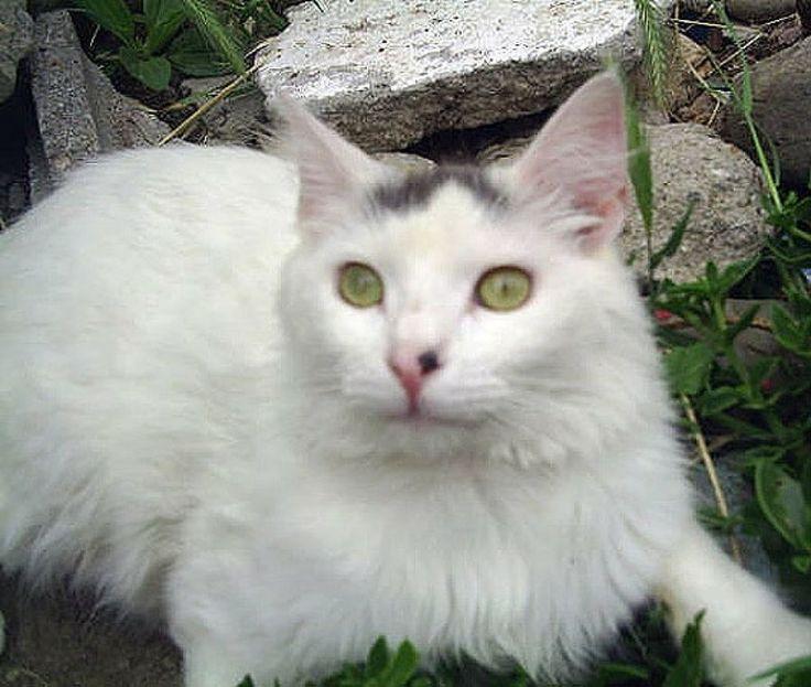 Ms de 25 ideas increbles sobre Gatos blancos en Pinterest