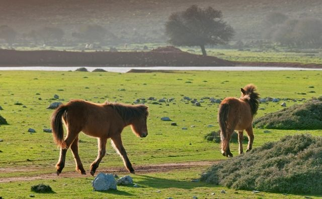 """VISIT GREECE  The famous local horses, the Skyrian ponies (their height does not exceed 1.10 meters). They are descended from the famous """"Pikermi hipparion"""" (Hipparion mediteraneum) dated to the Paleolithic age; the modern breeds are found also in the Shetland Isles. #Skyros #sporades #Greece #greekphotos"""