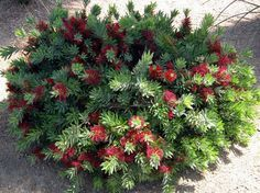 Callistemon citrinus 'Little John' - Dwarf Bottlebrush, full sun, 3'h x 5' w, slow growth, needs only occasional watering, attracts hummingbirds, deer resistant, red flowers in spring