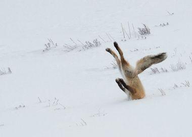 Финалисты конкурса Сomedy Wildlife Photography Awards — Лучшие работы жюри выбрало из более 2 тысяч присланных заявок.