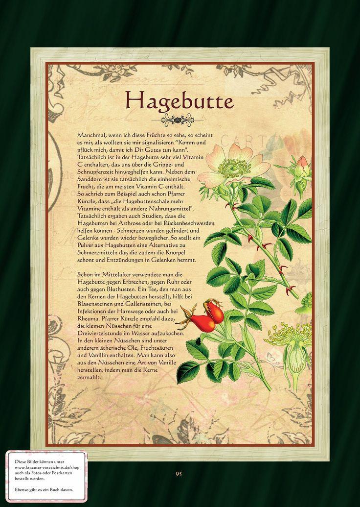 Hagebutte - Wildrose - Hundsrose