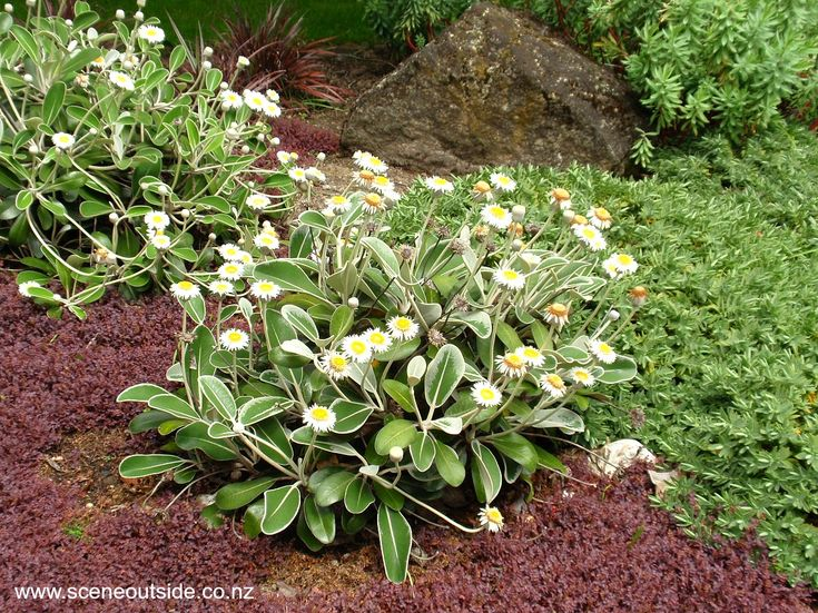 19 best new zealand native plants images on pinterest